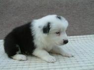ボーダーコリーの子犬(ID:1235911082)の3枚目の写真/更新日:2019-03-22