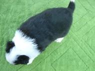 ボーダーコリーの子犬(ID:1235911083)の4枚目の写真/更新日:2019-05-25