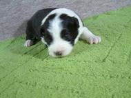 ボーダーコリーの子犬(ID:1235911100)の1枚目の写真/更新日:2017-02-21