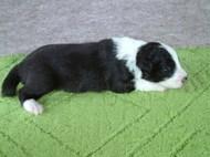 ボーダーコリーの子犬(ID:1235911100)の3枚目の写真/更新日:2017-02-21