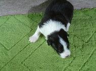 ボーダーコリーの子犬(ID:1235911101)の4枚目の写真/更新日:2017-02-21