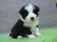 ボーダーコリーの子犬(ID:1235911102)の1枚目の写真/更新日:2017-02-21