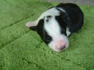 ボーダーコリーの子犬(ID:1235911104)の1枚目の写真/更新日:2017-04-14