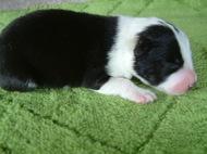 ボーダーコリーの子犬(ID:1235911104)の2枚目の写真/更新日:2017-04-14