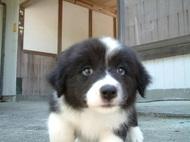ボーダーコリーの子犬(ID:1235911106)の1枚目の写真/更新日:2017-06-06