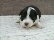 ボーダーコリーの子犬(ID:1235911108)の1枚目の写真/更新日:2018-02-05