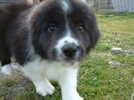 ボーダーコリーの子犬(ID:1235911110)の1枚目の写真/更新日:2018-02-09