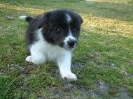 ボーダーコリーの子犬(ID:1235911110)の2枚目の写真/更新日:2018-02-09