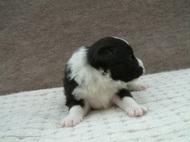 ボーダーコリーの子犬(ID:1235911111)の3枚目の写真/更新日:2018-02-09