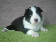 ボーダーコリーの子犬(ID:1235911113)の1枚目の写真/更新日:2018-03-09