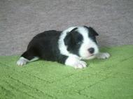 ボーダーコリーの子犬(ID:1235911113)の2枚目の写真/更新日:2018-03-09