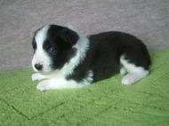 ボーダーコリーの子犬(ID:1235911113)の3枚目の写真/更新日:2018-03-09