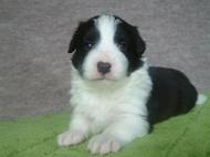 ボーダーコリーの子犬(ID:1235911114)の1枚目の写真/更新日:2018-03-09