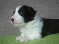 ボーダーコリーの子犬(ID:1235911114)の2枚目の写真/更新日:2018-03-09