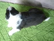 ボーダーコリーの子犬(ID:1235911114)の4枚目の写真/更新日:2018-03-09