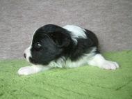ボーダーコリーの子犬(ID:1235911115)の3枚目の写真/更新日:2018-03-09