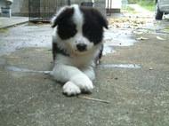 ボーダーコリーの子犬(ID:1235911116)の1枚目の写真/更新日:2018-04-02