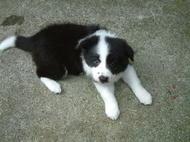 ボーダーコリーの子犬(ID:1235911116)の2枚目の写真/更新日:2018-05-04