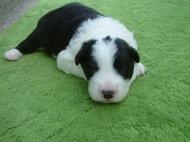 ボーダーコリーの子犬(ID:1235911117)の1枚目の写真/更新日:2018-04-02