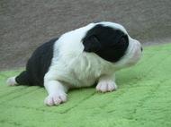ボーダーコリーの子犬(ID:1235911117)の2枚目の写真/更新日:2018-04-02