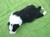 ボーダーコリーの子犬(ID:1235911117)の4枚目の写真/更新日:2018-04-02