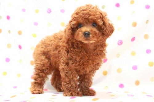 トイプードルの子犬(ID:1236011119)の1枚目の写真/更新日:2016-09-08