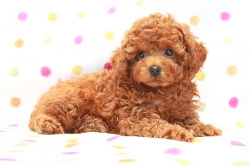 トイプードルの子犬(ID:1236011119)の3枚目の写真/更新日:2016-09-08