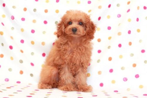 トイプードルの子犬(ID:1236011120)の1枚目の写真/更新日:2016-10-21