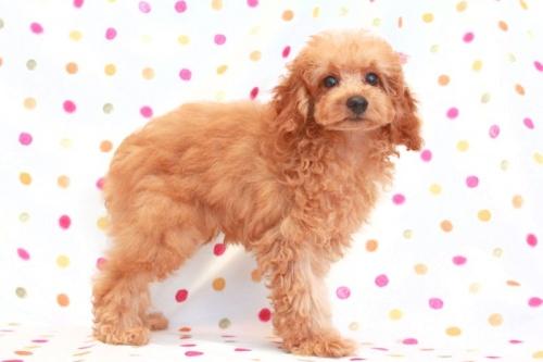 トイプードルの子犬(ID:1236011120)の2枚目の写真/更新日:2016-10-21