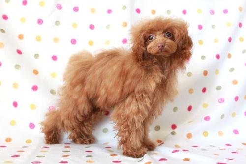 トイプードルの子犬(ID:1236011137)の1枚目の写真/更新日:2017-01-27