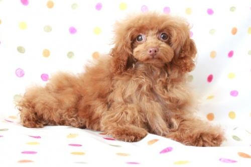 トイプードルの子犬(ID:1236011137)の2枚目の写真/更新日:2017-01-27