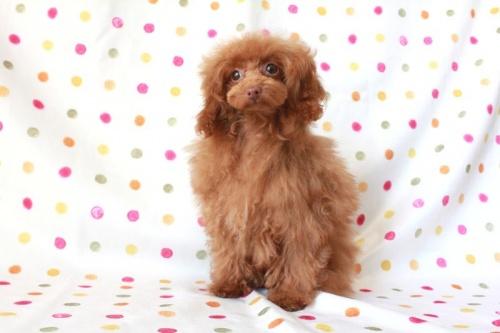 トイプードルの子犬(ID:1236011137)の3枚目の写真/更新日:2017-01-27