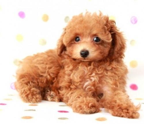 トイプードルの子犬(ID:1236011138)の2枚目の写真/更新日:2017-01-27