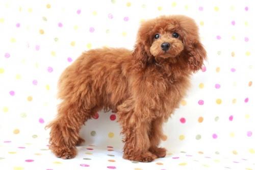 トイプードルの子犬(ID:1236011139)の1枚目の写真/更新日:2017-01-27