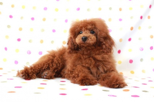 トイプードルの子犬(ID:1236011139)の2枚目の写真/更新日:2017-01-27