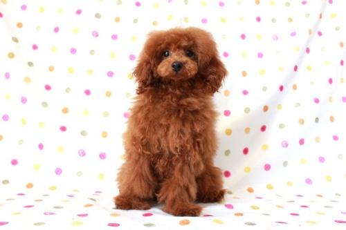 トイプードルの子犬(ID:1236011139)の3枚目の写真/更新日:2017-01-27