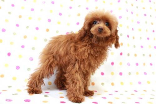 トイプードルの子犬(ID:1236011140)の1枚目の写真/更新日:2017-01-27