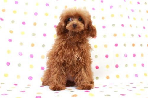 トイプードルの子犬(ID:1236011140)の3枚目の写真/更新日:2017-01-27