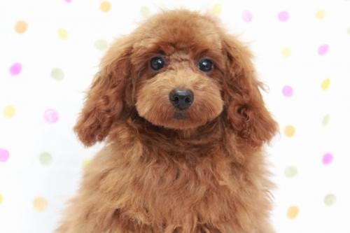 トイプードルの子犬(ID:1236011141)の1枚目の写真/更新日:2018-06-01