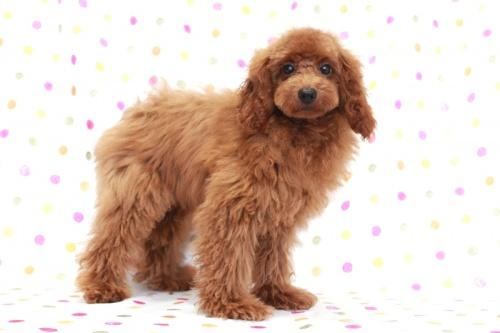 トイプードルの子犬(ID:1236011141)の2枚目の写真/更新日:2018-06-01