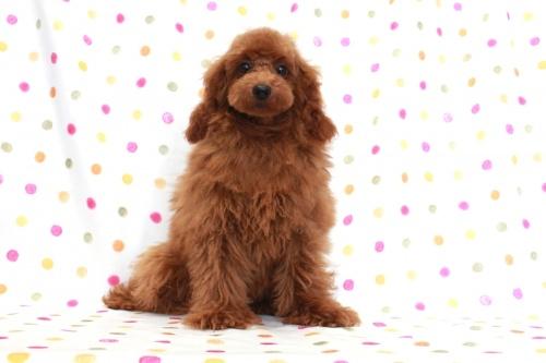 トイプードルの子犬(ID:1236011141)の3枚目の写真/更新日:2018-07-14