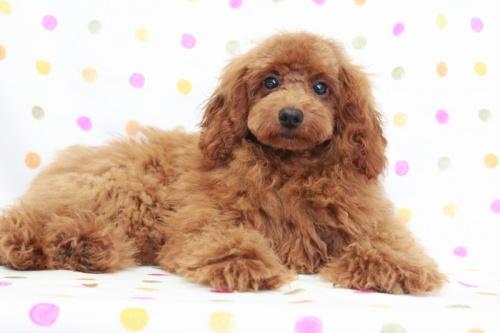 トイプードルの子犬(ID:1236011141)の4枚目の写真/更新日:2018-06-01