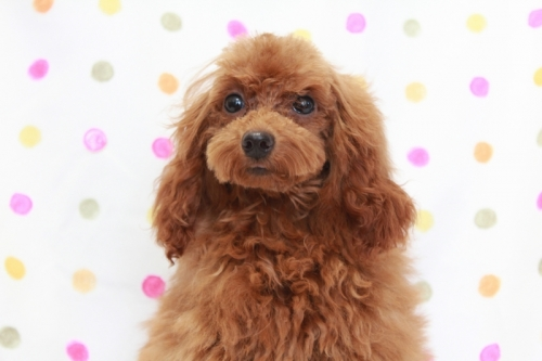 トイプードルの子犬(ID:1236011142)の1枚目の写真/更新日:2018-06-01