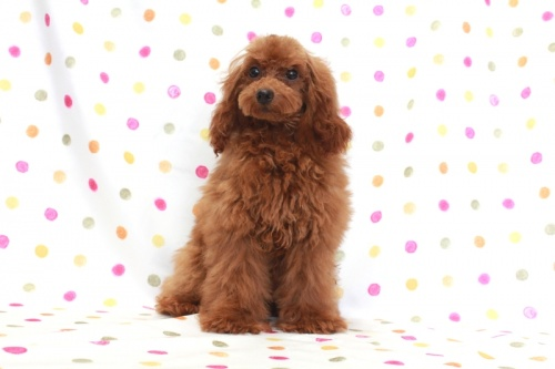 トイプードルの子犬(ID:1236011142)の2枚目の写真/更新日:2018-06-01