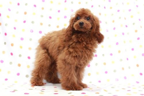 トイプードルの子犬(ID:1236011142)の3枚目の写真/更新日:2018-06-01