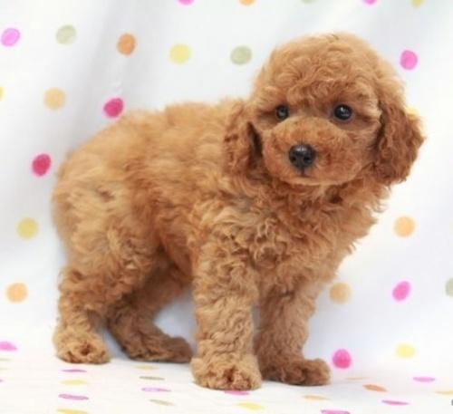 トイプードルの子犬(ID:1236011143)の1枚目の写真/更新日:2018-06-01
