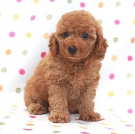 トイプードルの子犬(ID:1236011143)の2枚目の写真/更新日:2018-06-01
