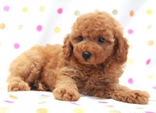 トイプードルの子犬(ID:1236011143)の3枚目の写真/更新日:2018-06-01