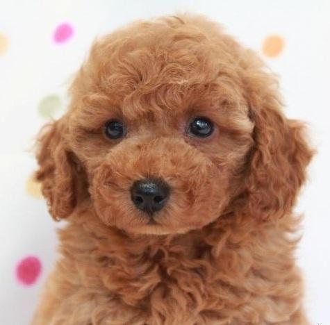 トイプードルの子犬(ID:1236011143)の4枚目の写真/更新日:2018-06-01