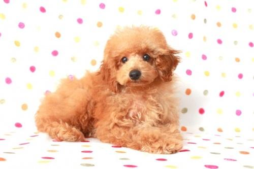 トイプードルの子犬(ID:1236011145)の1枚目の写真/更新日:2017-03-01